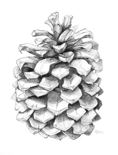 Still life ideas pinecones on pinterest pine cones drawings and charcoal drawings - Pomme de pin dessin ...